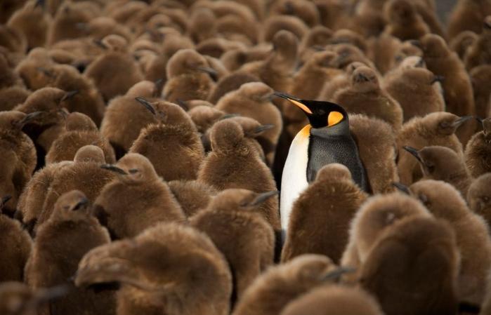 Penguins05 (700x449, 184Kb)