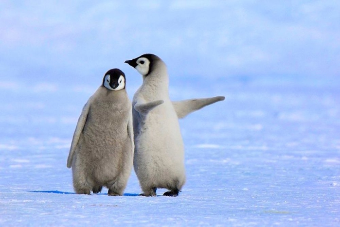 Penguins07 (700x467, 165Kb)