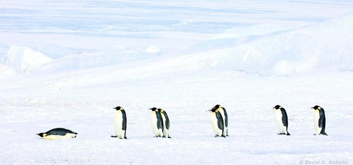 Penguins09 (700x326, 129Kb)