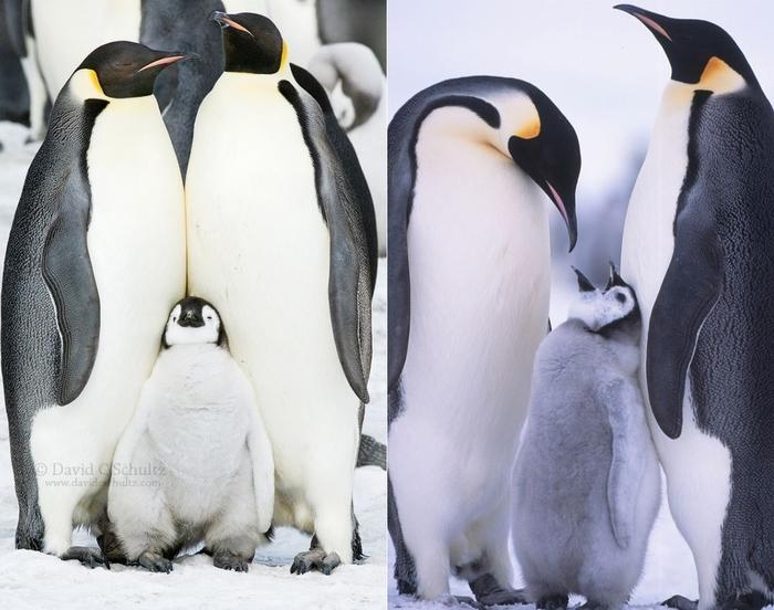 Penguins11 (700x552, 235Kb)