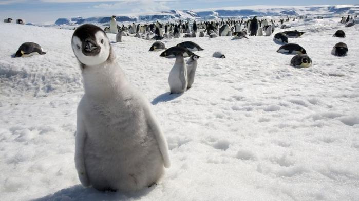 Penguins13 (700x393, 184Kb)