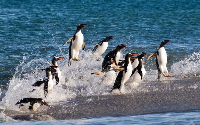 Penguins15 (700x437, 269Kb)
