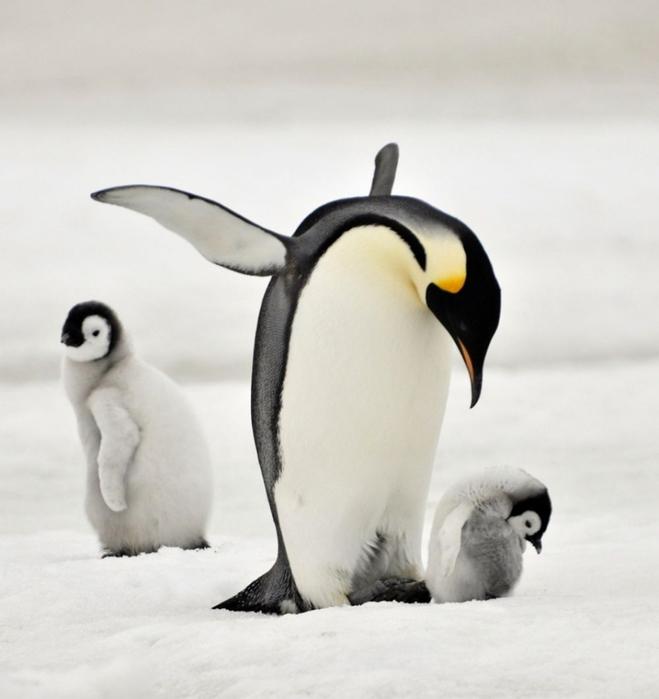 Penguins19 (659x700, 172Kb)