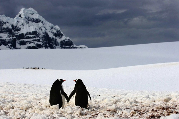 Penguins20 (700x463, 195Kb)
