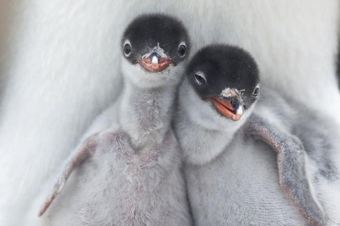 Penguins21 (700x466, 160Kb)