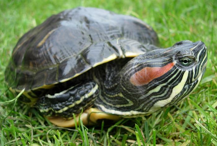 alt=Содержание красноухих черепах в домашних условиях./2835299_KRASNOYHAYa_ChEREPAHA1 (700x471, 95Kb)