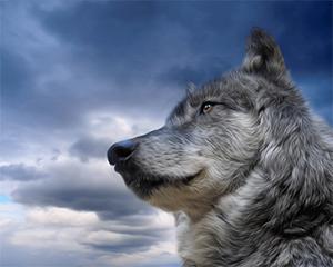 Волк 2 (300x240, 84Kb)