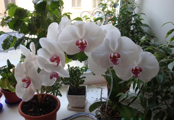 орхидея не цветёт (687x475, 784Kb)