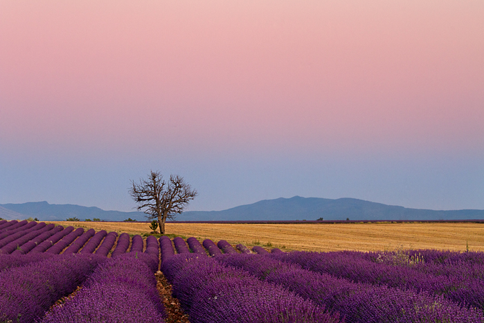 evening-twilight-valensole-plain-provence-france1 (700x466, 369Kb)