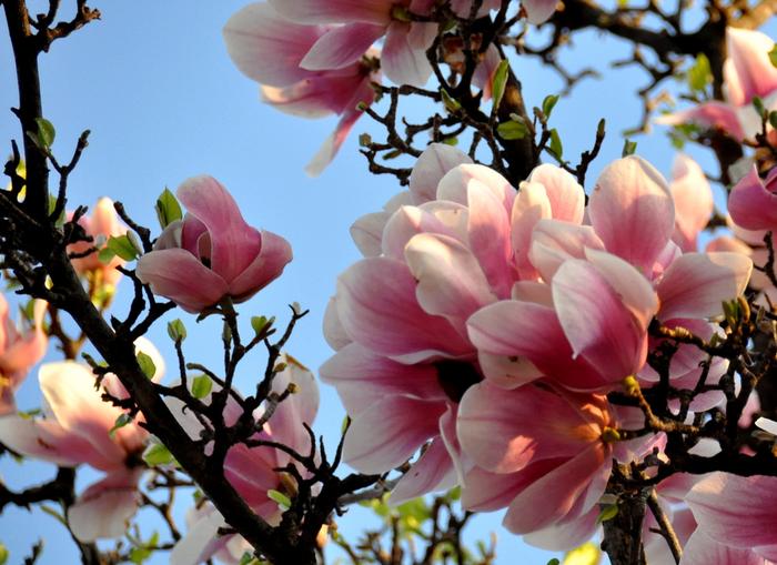 1305818453_magnolia_1-18 (700x509, 455Kb)