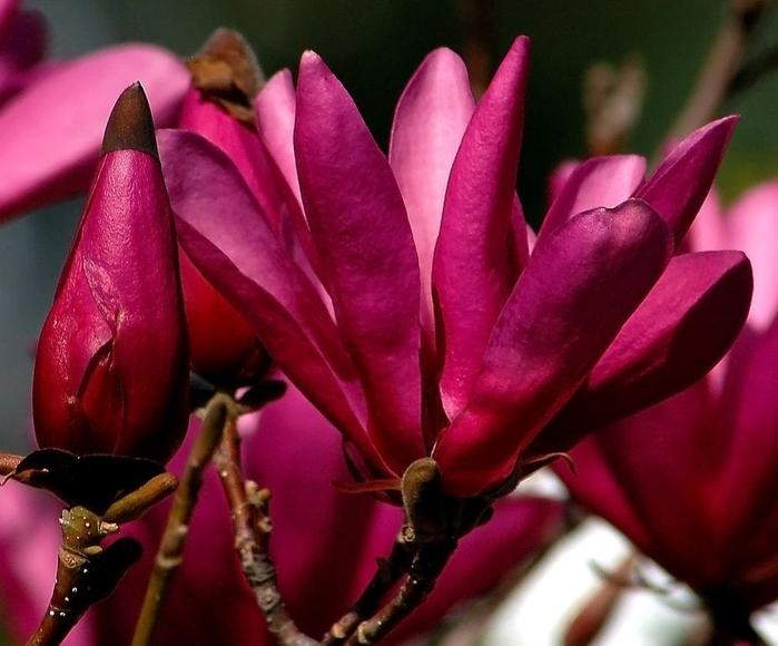 magnolia_susan_2 (700x580, 359Kb)
