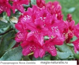 5930119_Rododendron__Nova_Zembla (326x266, 27Kb)