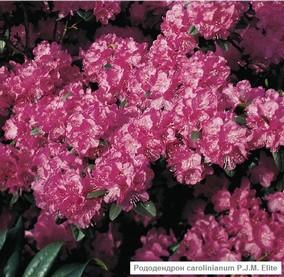 5930119_Rododendron_Pi_Djei_Em_Elit (284x277, 35Kb)