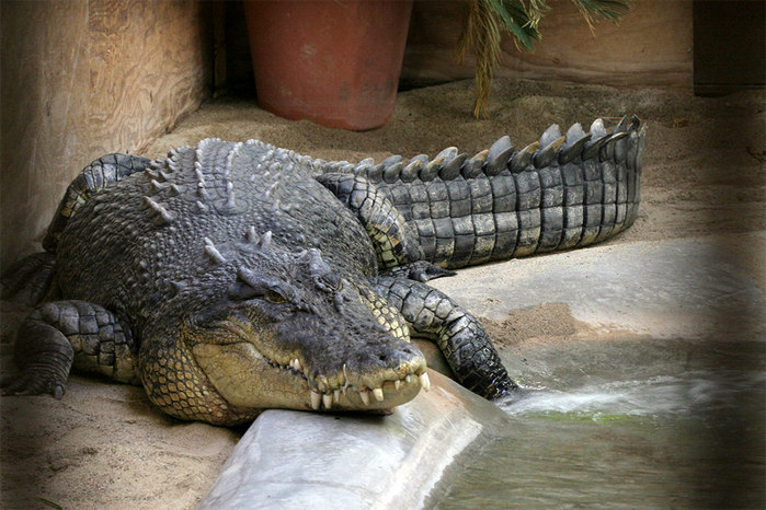 samy-bolshoy-krokodil_1 (700x466, 109Kb)