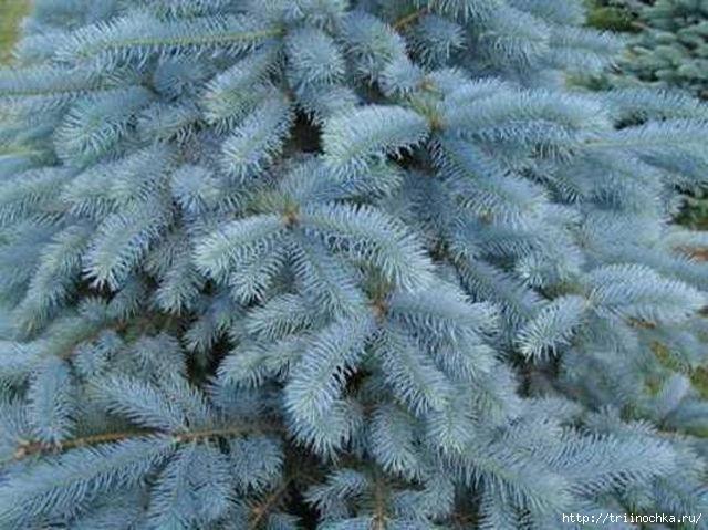 Как вырастить голубую ель из семян. Три И ночка/4059776_Golybaya_el (640x479, 187Kb)