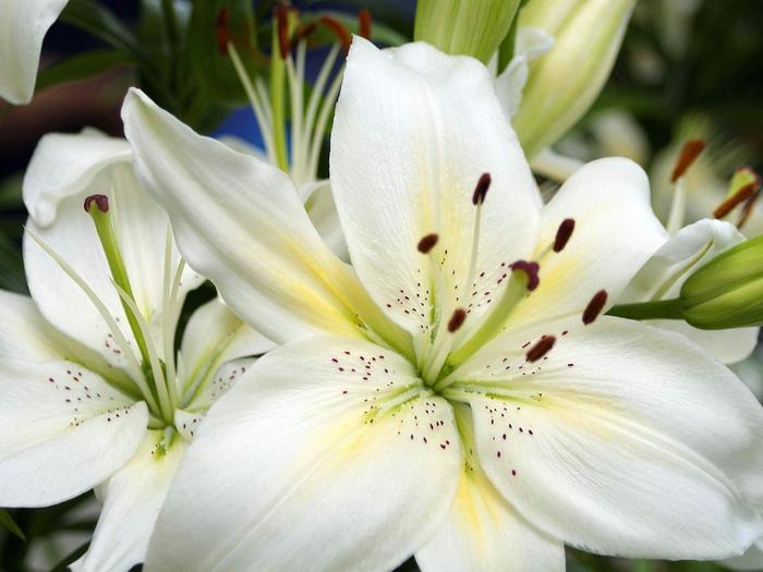 lilii (700x525, 369Kb)