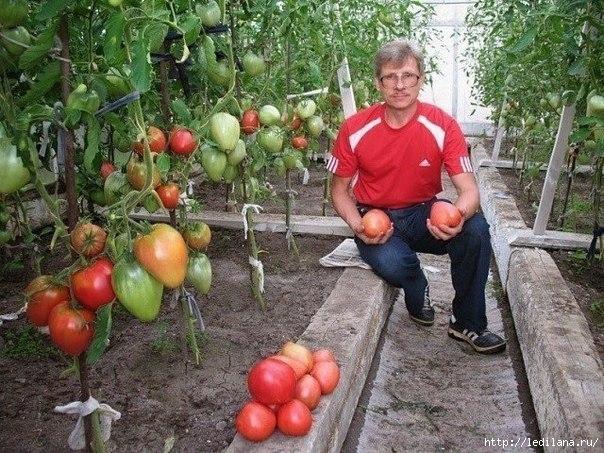 3925311_tomati_pomidori (604x453, 243Kb)