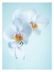 ������ Orhidea - 1 (1) (450x600, 113Kb)