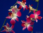 ������ Orhidea - 1 (9) (600x450, 197Kb)