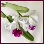 ������ Orhidea - 1 (17) (575x569, 215Kb)