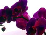 ������ PurpleOrchid(1) (600x455, 242Kb)