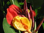 ������ canna-lily-1888 (700x525, 416Kb)