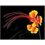 ������ flowerredbirdofparadiseve1 (280x280, 48Kb)