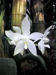 ������ orhidei (300x400, 86Kb)