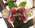 ������ photo-04-stangopeia-orhidnye (600x481, 261Kb)