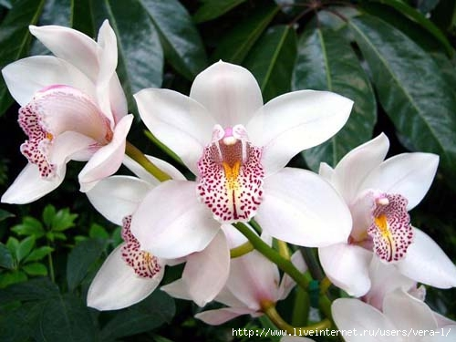belaya-orhideya (500x375, 105Kb)