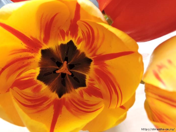 дачные тюльпаны (2) (700x525, 231Kb)