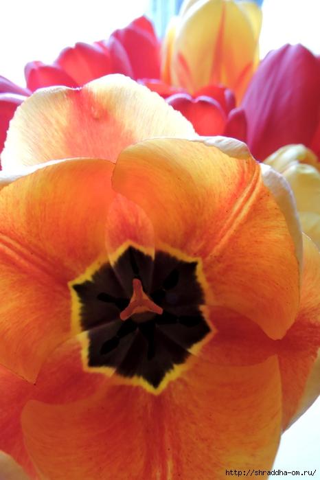 дачные тюльпаны (11) (466x700, 199Kb)