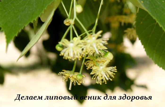 2749438_Delaem_lipovii_venik_dlya_zdorovya (700x452, 374Kb)