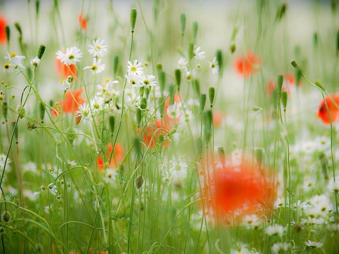 polevie-cveti-foto-01-e1417082886941 (700x525, 378Kb)