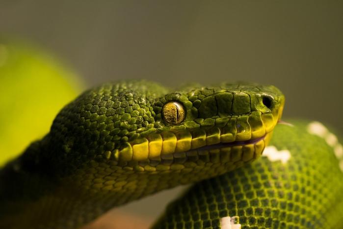 5380116_snakescloseupanimalsreptilesnakeeyesXDJW_1 (700x466, 181Kb)