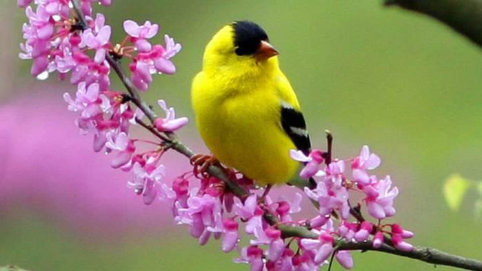 Spring-goldfinch (700x393, 31Kb)