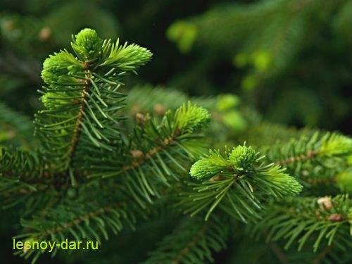 elovaya_hvoya3 (500x375, 36Kb)