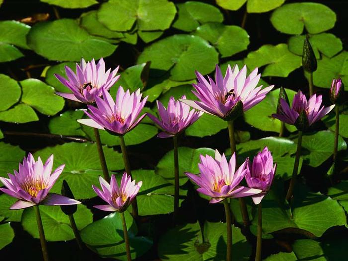 Водяные лилии (700x525, 110Kb)