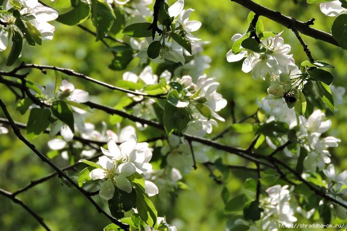 весна, май (1) (700x466, 259Kb)