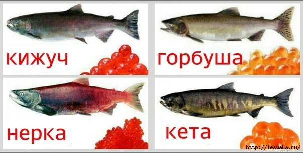 3925073_ribaikravidy (604x305, 108Kb)
