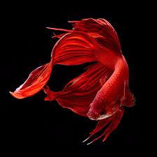 Fish Visarute Angkatavanich1� (225x225, 32Kb)