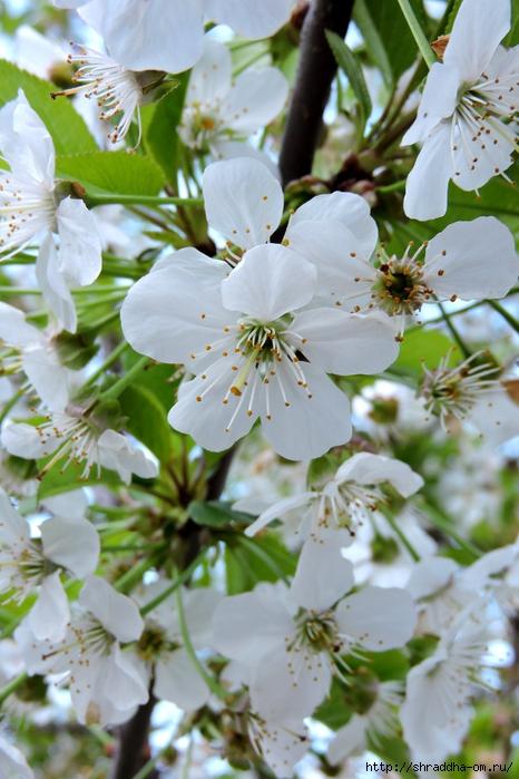 весна, май (18) (466x700, 274Kb)