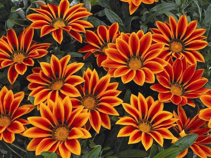 Сорта цветов для дачи