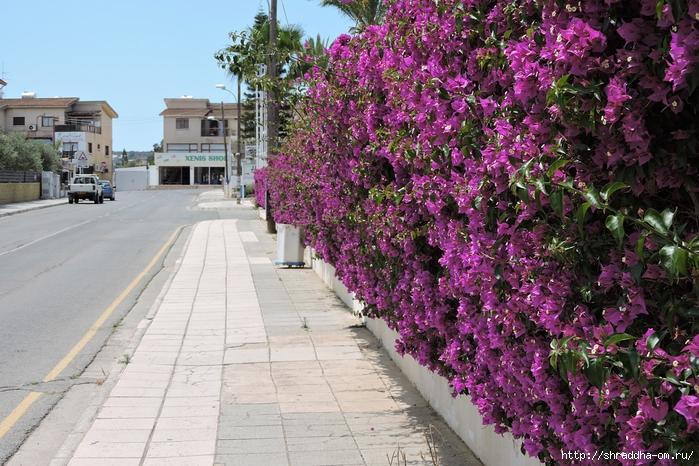 Кипр, май 2016 (9) (700x466, 348Kb)