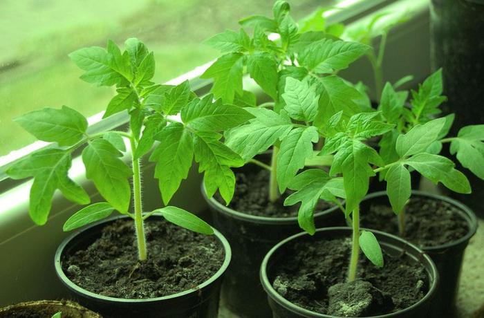 как вырастить хорошую рассаду (700x460, 385Kb)