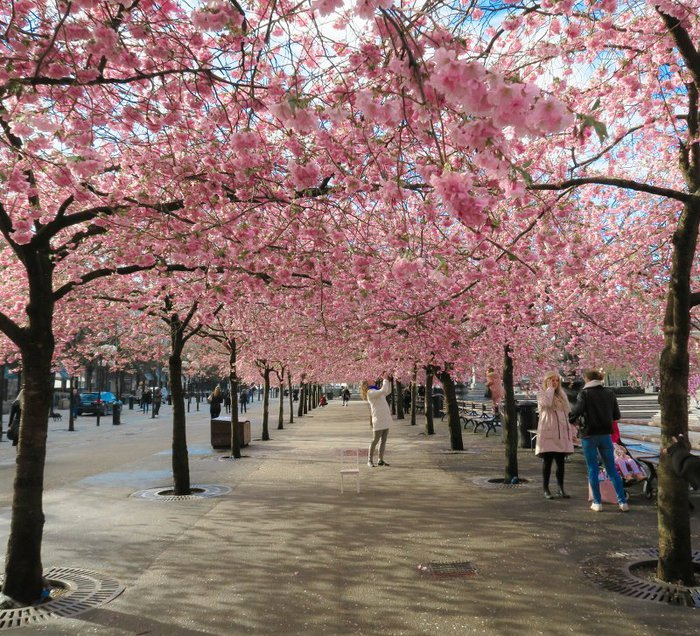 6_Sakura blooming in Kungstr?dg?rden Stockholm ?stra allee (700x636, 169Kb)