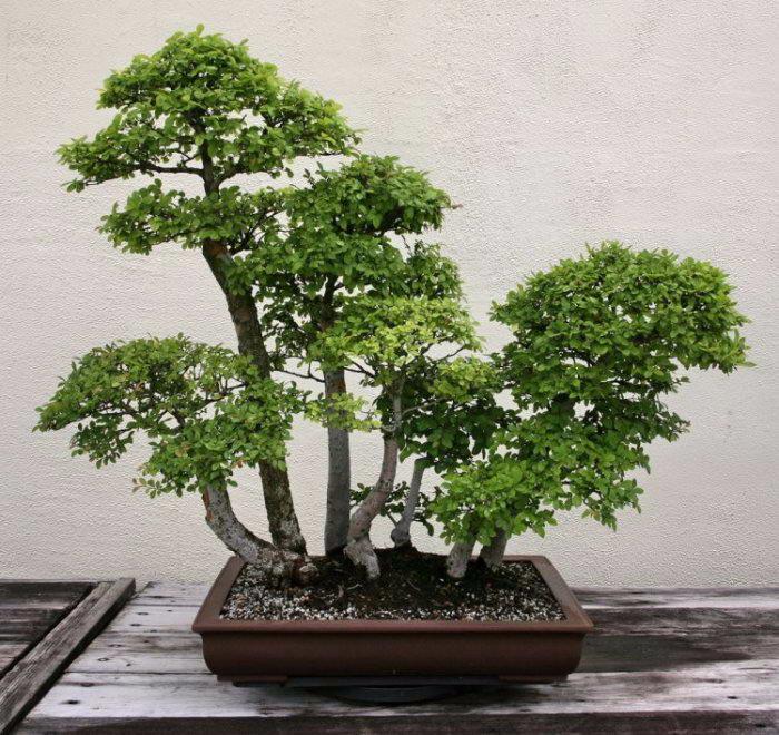 деревья бонсай фото 2 (700x660, 435Kb)