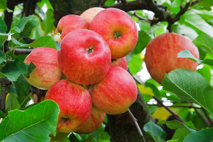 яблоки 4 (700x466, 436Kb)