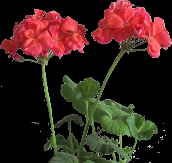 ветка-красной-герани