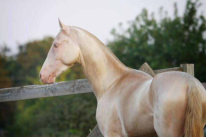 ахалтекинская лошадь2 (700x466, 250Kb)